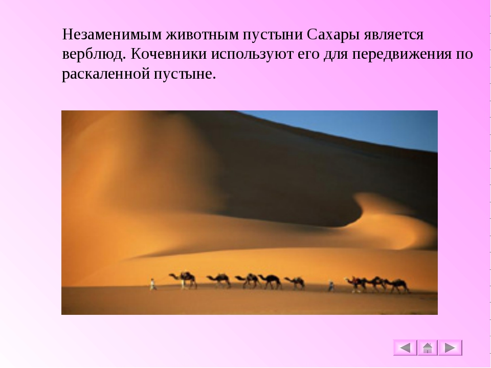 Незаменимым животным пустыни Сахары является верблюд. Кочевники используют ег...