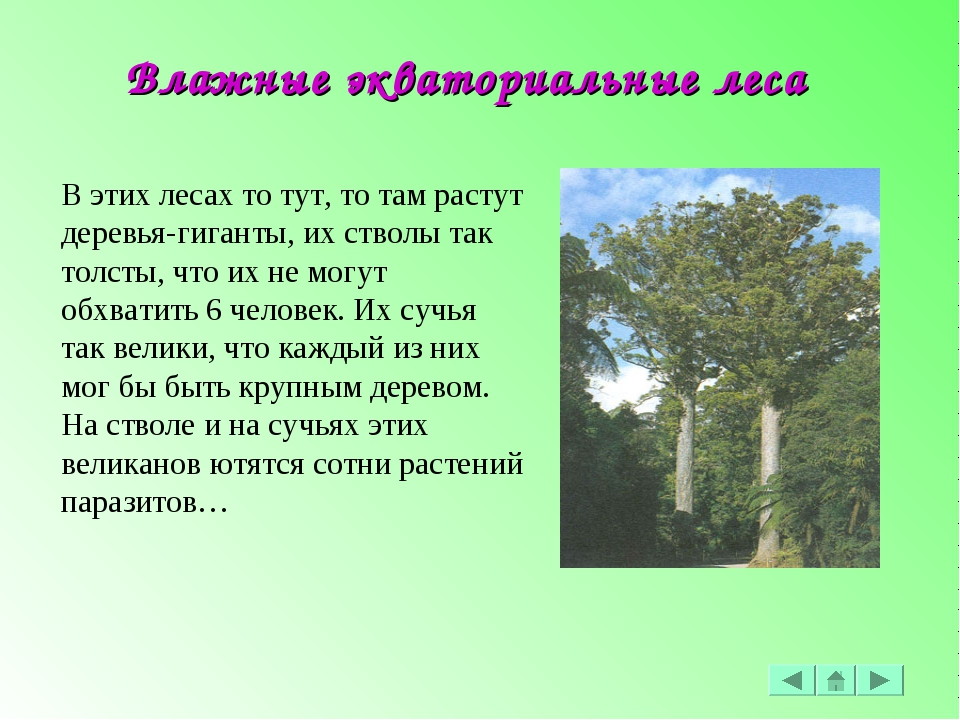 В этих лесах то тут, то там растут деревья-гиганты, их стволы так толсты, что...