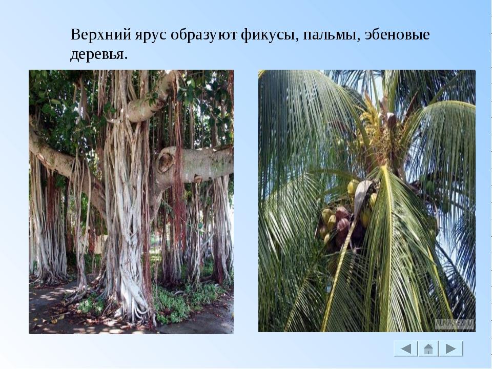 Верхний ярус образуют фикусы, пальмы, эбеновые деревья.