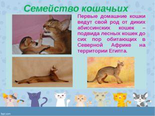 Семейство кошачьих Первые домашние кошки ведут свой род от диких абиссинских