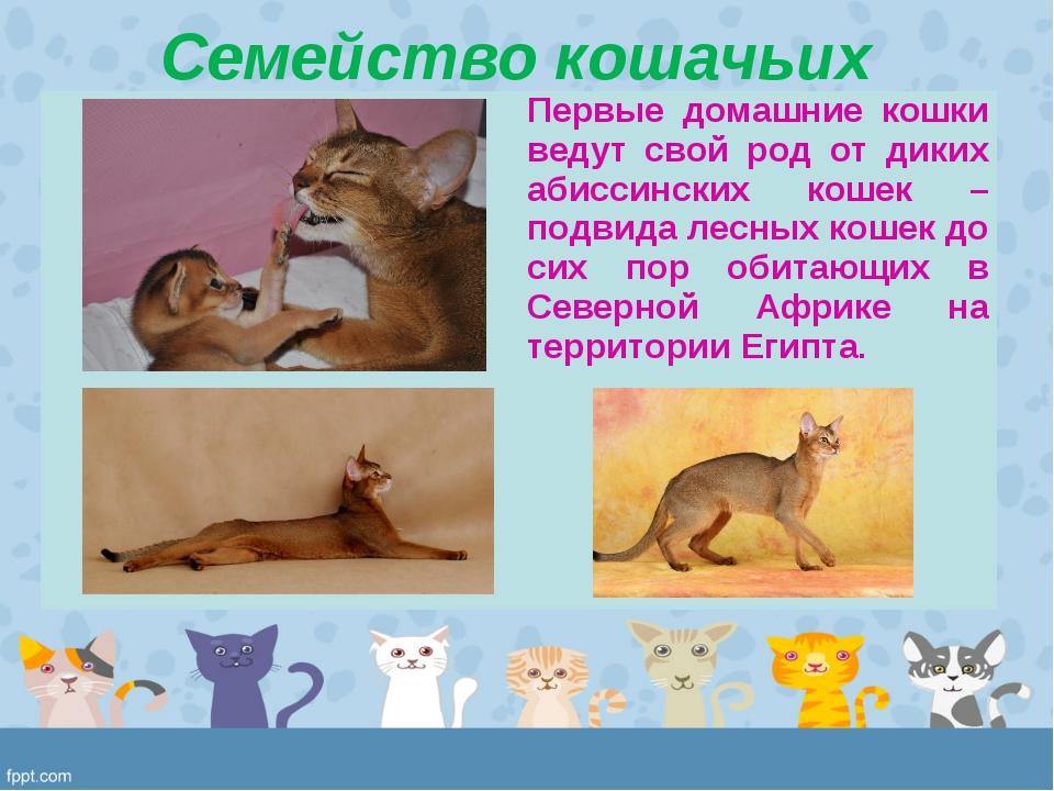 Семейство кошачьих Первые домашние кошки ведут свой род от диких абиссинских...