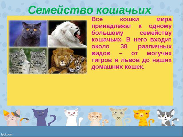 Семейство кошачьих Все кошки мира принадлежат к одному большому семейству ко...
