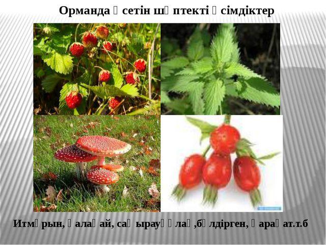 Орманда өсетін шөптекті өсімдіктер Итмұрын, қалақай, саңырауқұлақ,бүлдірген,...