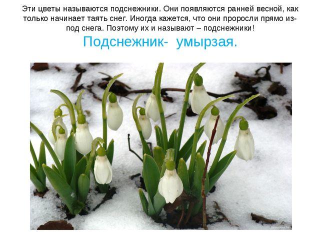 Эти цветы называются подснежники. Они появляются ранней весной, как только на...
