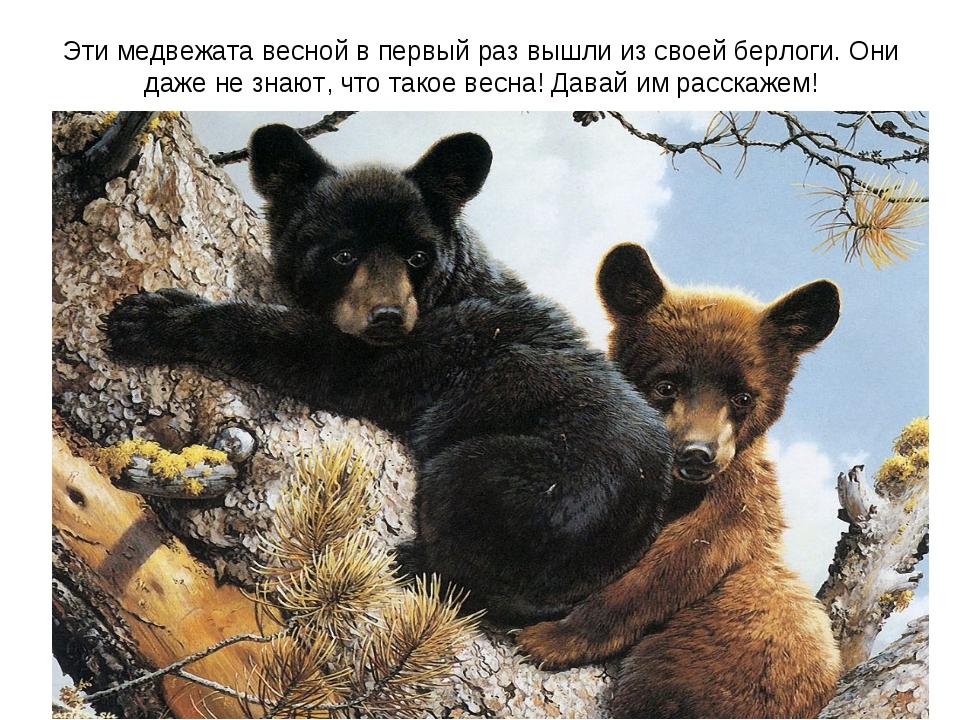 Эти медвежата весной в первый раз вышли из своей берлоги. Они даже не знают,...