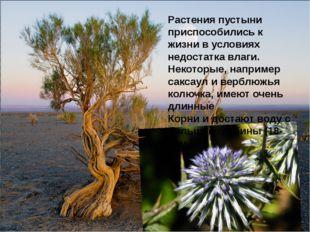 Растения пустыни приспособились к жизни в условиях недостатка влаги. Некоторы