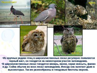 Из крупных редких птиц в широколиственных лесах регулярно появляется черный а