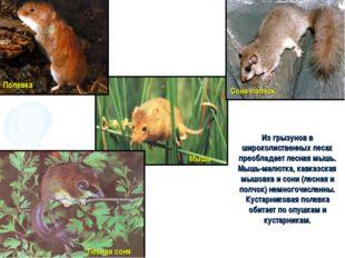 Из грызунов в широколиственных лесах преобладает лесная мышь. Мышь-малютка, к