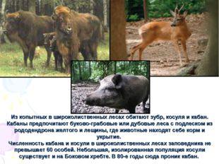 Из копытных в широколиственных лесах обитают зубр, косуля и кабан. Кабаны пре