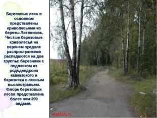 Березовые леса в основном представлены криволесьями из березы Литвинова. Чист