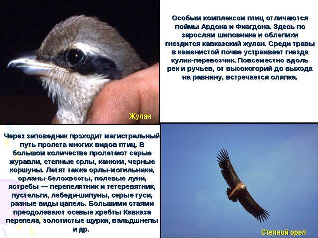 Особым комплексом птиц отличаются поймы Ардона и Фиагдона. Здесь по зарослям...