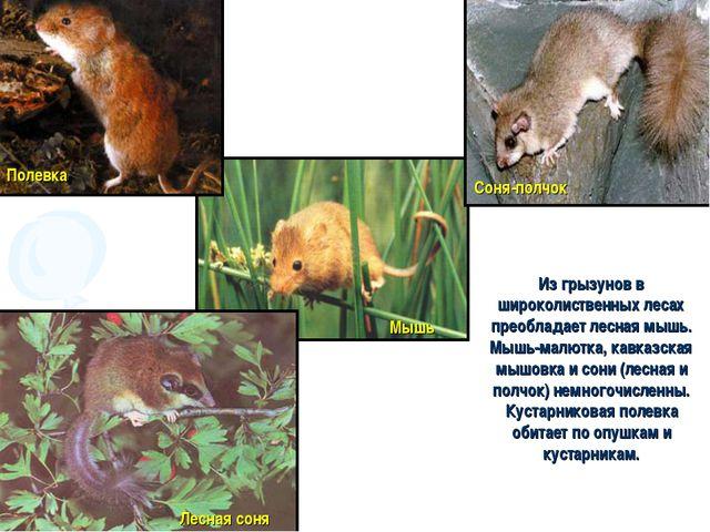 Из грызунов в широколиственных лесах преобладает лесная мышь. Мышь-малютка, к...