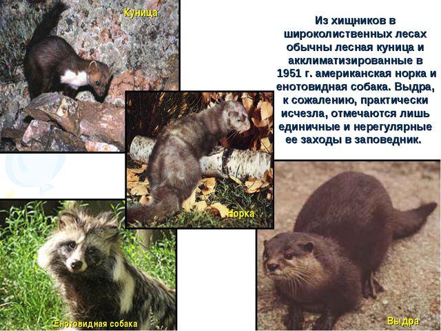 Из хищников в широколиственных лесах обычны лесная куница и акклиматизированн...