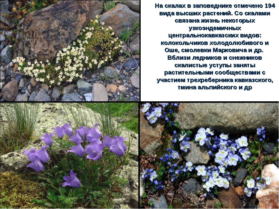 На скалах в заповеднике отмечено 194 вида высших растений. Со скалами связана...