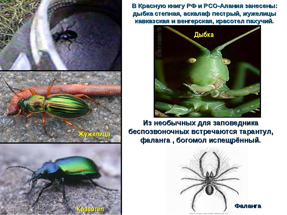В Красную книгу РФ и РСО-Алания занесены: дыбка степная, аскалаф пестрый, жуж...