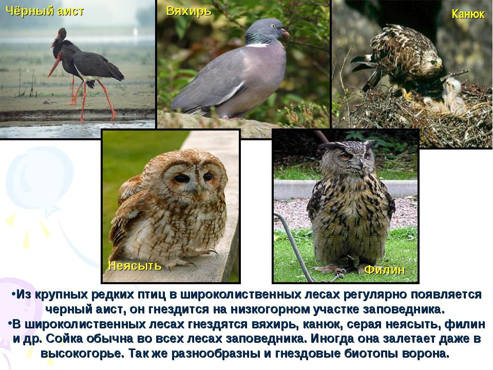 Из крупных редких птиц в широколиственных лесах регулярно появляется черный а...