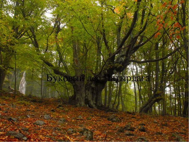 Буковый лес Чатырдага {