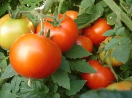 TomatoEarlyGirl_20130507000736