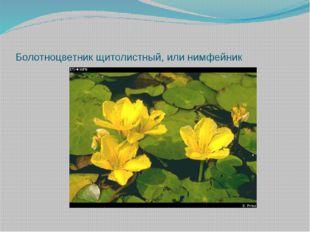 Болотноцветник щитолистный, или нимфейник