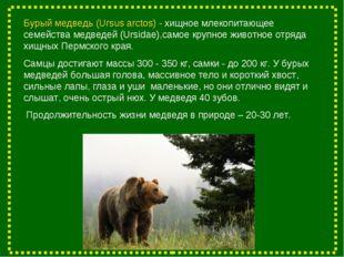 Бурый медведь (Ursus arctos) - хищное млекопитающее семейства медведей (Ursid