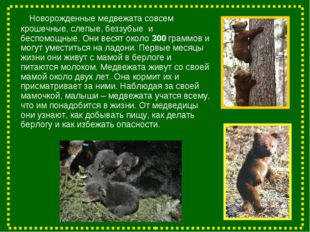 Новорожденные медвежата совсем крошечные, слепые, беззубые и беспомощные. Он