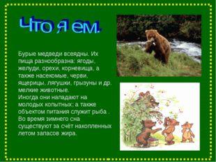 Бурые медведи всеядны. Их пища разнообразна: ягоды, желуди, орехи, корневища