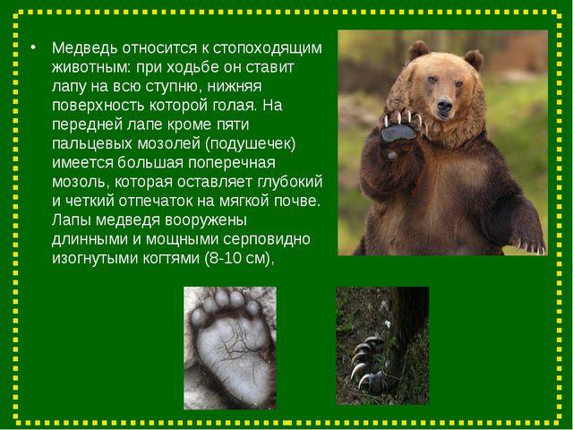 Медведь относится к стопоходящим животным: при ходьбе он ставит лапу на всю с...