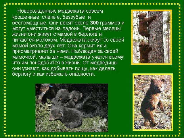 Новорожденные медвежата совсем крошечные, слепые, беззубые и беспомощные. Он...