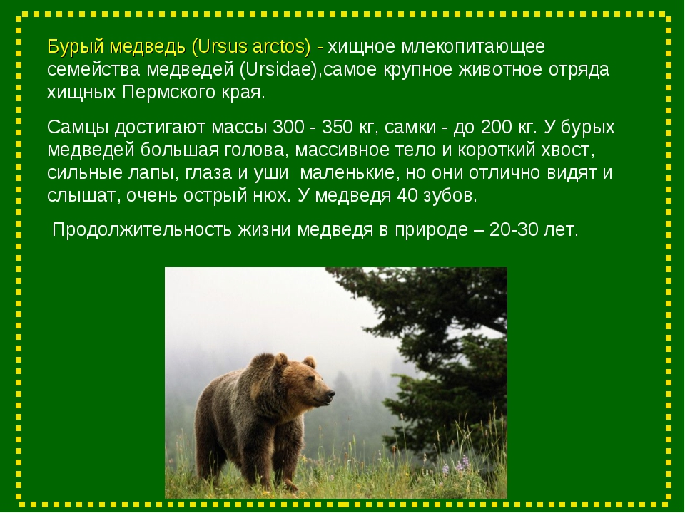 Бурый медведь (Ursus arctos) - хищное млекопитающее семейства медведей (Ursid...