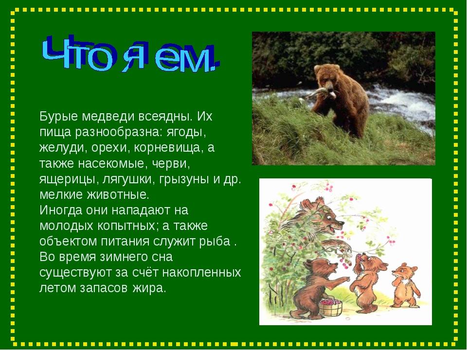 Бурые медведи всеядны. Их пища разнообразна: ягоды, желуди, орехи, корневища...