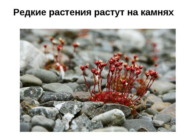 Редкие растения растут на камнях