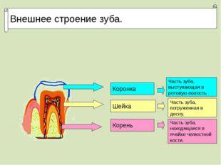 Внешнее строение зуба. Коронка Шейка Корень Часть зуба, выступающая в ротовую