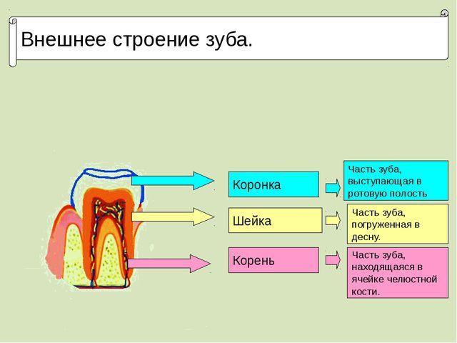 Внешнее строение зуба. Коронка Шейка Корень Часть зуба, выступающая в ротовую...