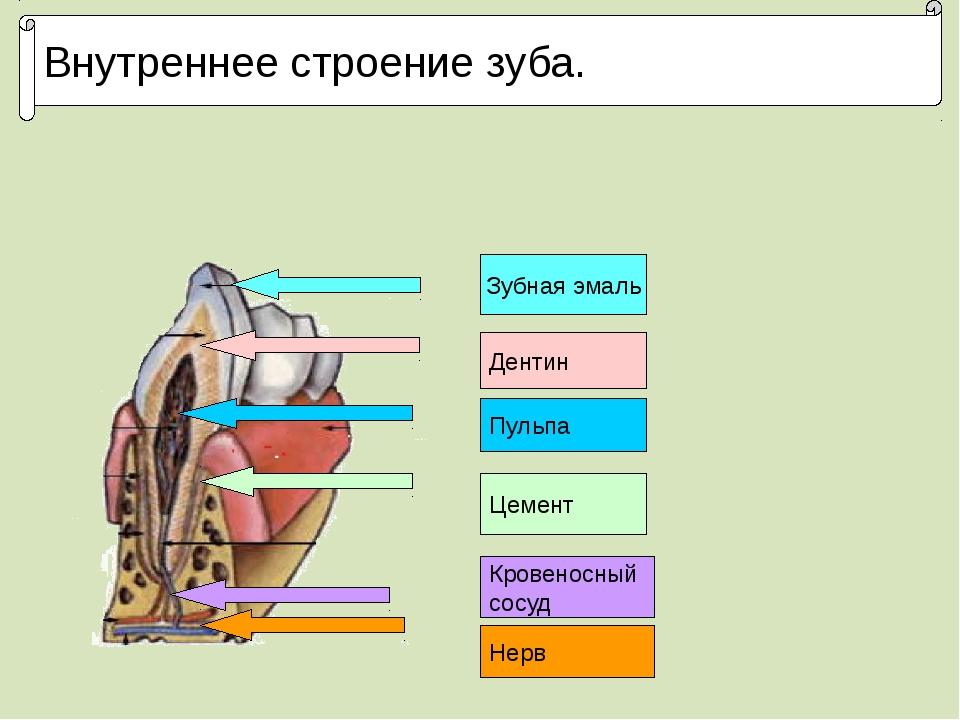 Внутреннее строение зуба. Зубная эмаль Дентин Цемент Кровеносный сосуд Нерв П...