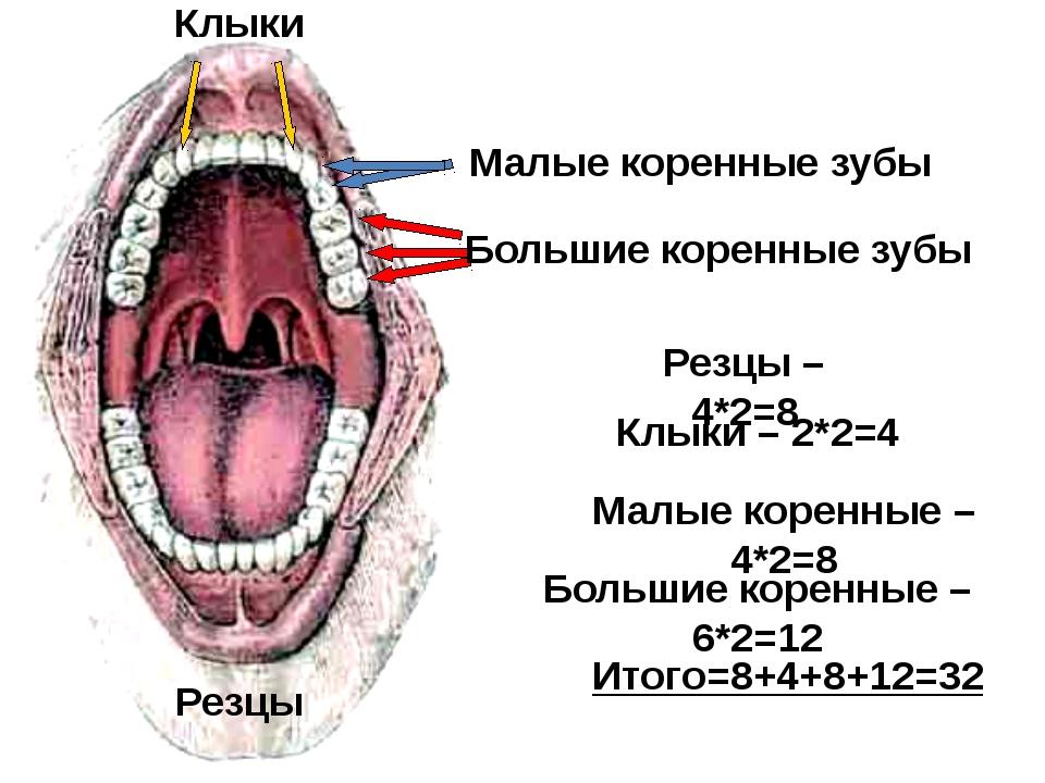 Большие коренные зубы Малые коренные зубы Клыки Резцы Резцы – 4*2=8 Клыки –...