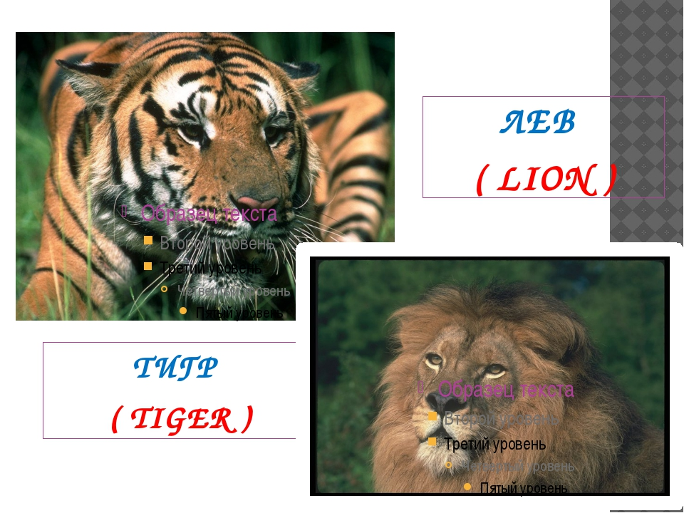 ТИГР ( TIGER ) ЛЕВ ( LION )