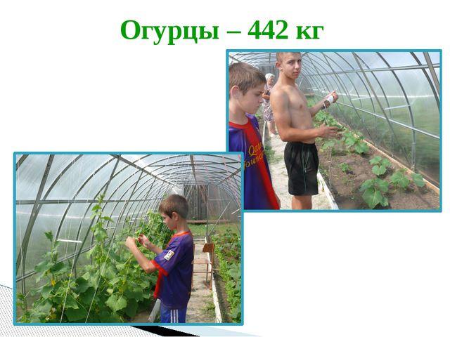 Огурцы – 442 кг