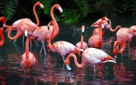C:\Users\Людмила\Pictures\фото для рабочего стола\животные, птицы, насекомые\птицы\розовые фламинго.jpg