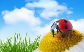 C:\Users\Людмила\Pictures\фото для рабочего стола\животные, птицы, насекомые\насекомые\божья коровка на ромашке.jpg