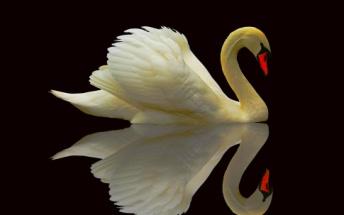 http://images.forwallpaper.com/files/thumbs/preview/24/243948__graceful-swan_p.jpg