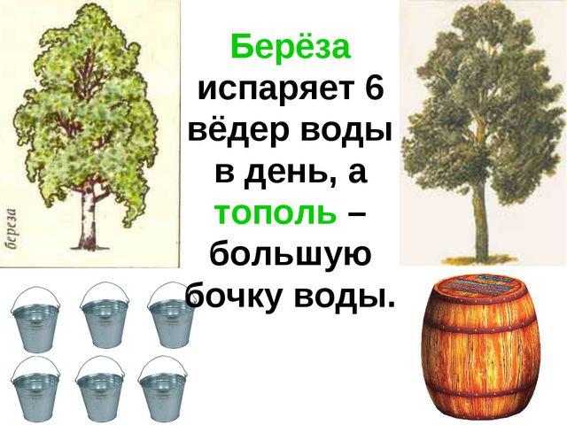 Берёза испаряет 6 вёдер воды в день, а тополь – большую бочку воды.