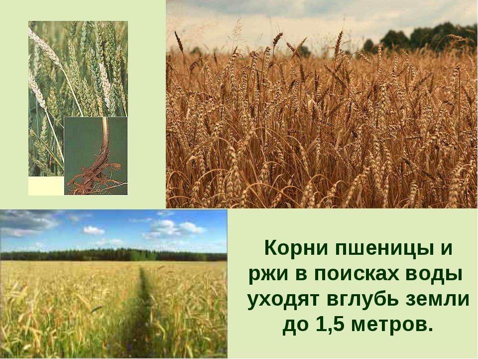 Корни пшеницы и ржи в поисках воды уходят вглубь земли до 1,5 метров.