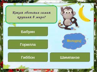 Какая обезьяна самая крупная в мире? Бабуин Шимпанзе Горилла Гиббон Подумай!