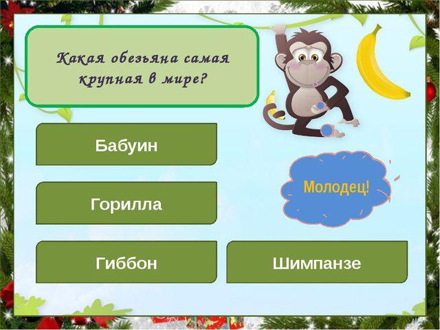 Какая обезьяна самая крупная в мире? Бабуин Шимпанзе Горилла Гиббон Подумай!...