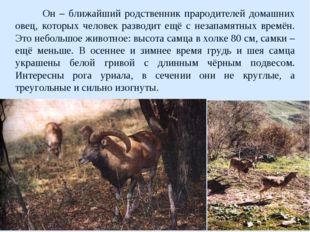 Он – ближайший родственник прародителей домашних овец, которых человек разво
