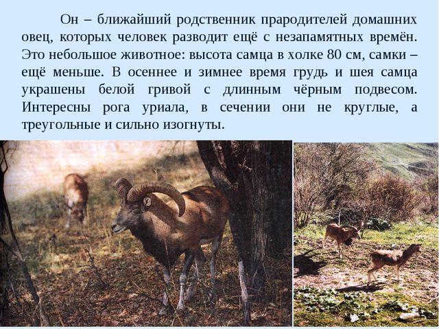 Он – ближайший родственник прародителей домашних овец, которых человек разво...