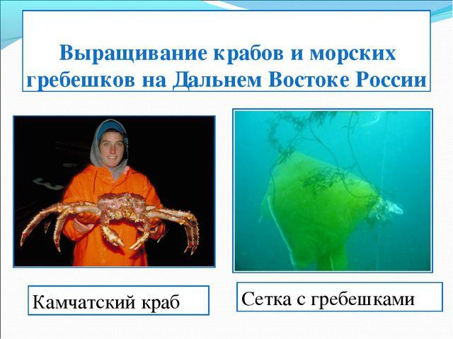 Выращивание крабов и морских гребешков на Дальнем Востоке России Камчатский...