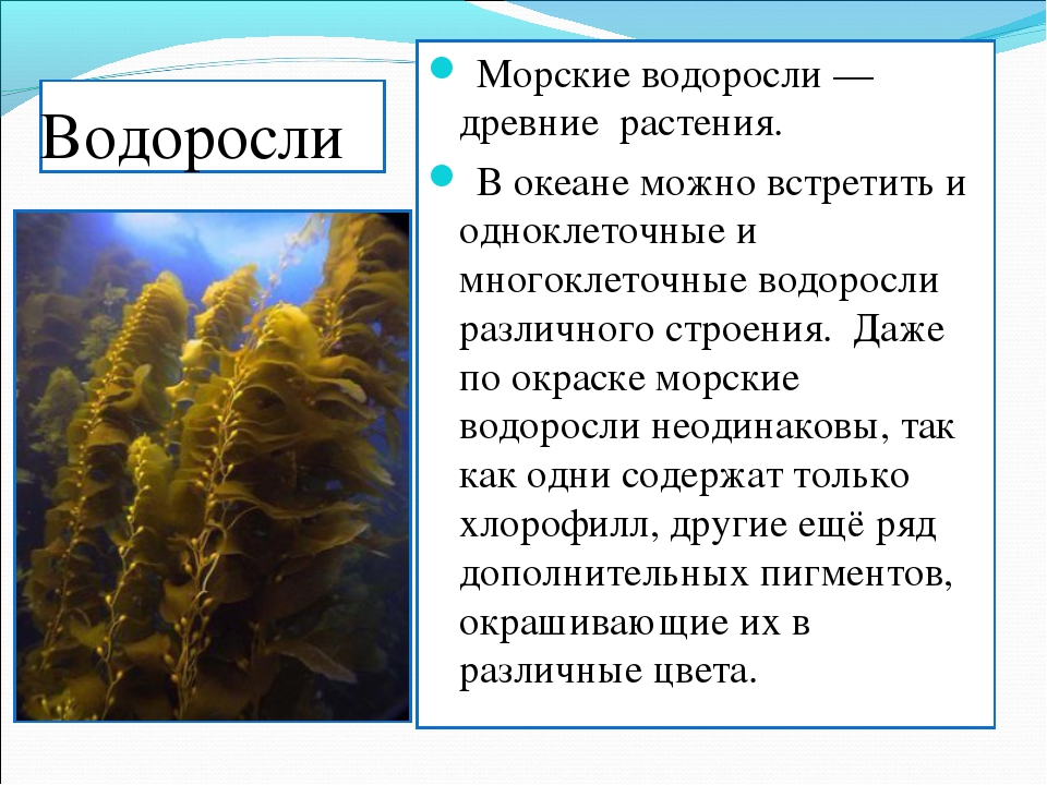 Водоросли Морские водоросли — древние растения. В океане можно встретить и од...