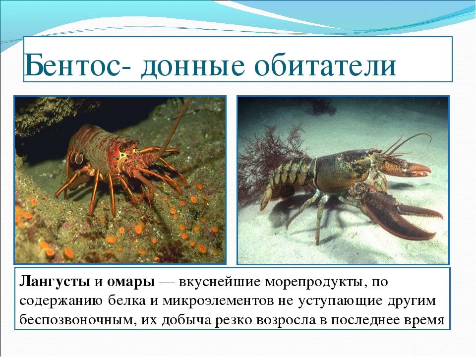 Бентос- донные обитатели Лангусты и омары — вкуснейшие морепродукты, по содер...