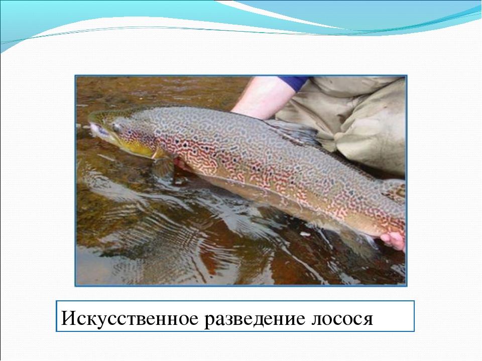 Искусственное разведение лосося